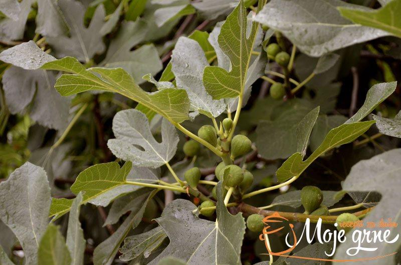 Sirup od listova smokve