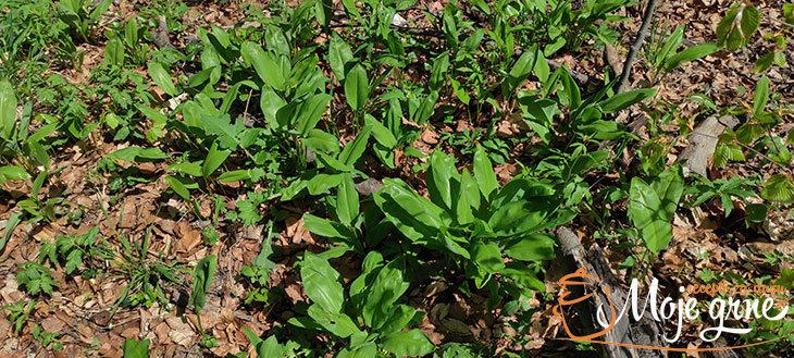 wild garlic sremuš